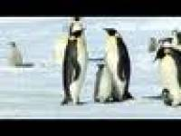 Emperor Penguins-thought you might enjoy
